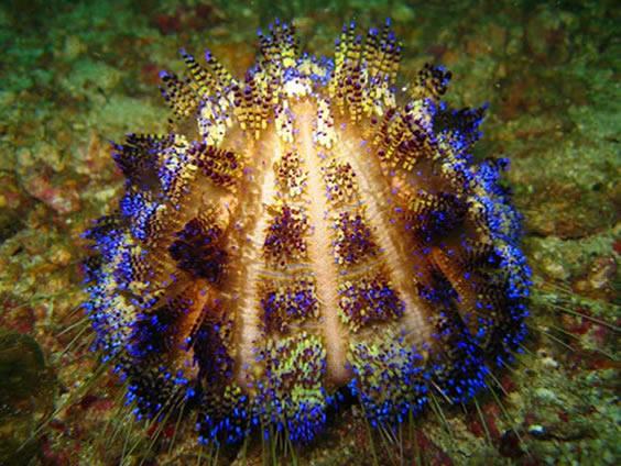 UFO Coloured sea urchin