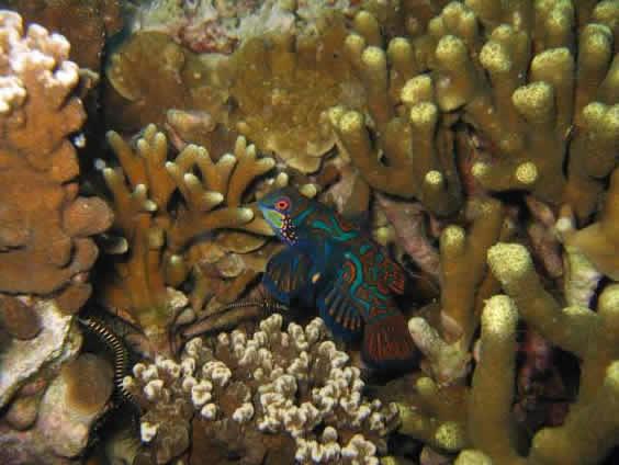 Mandarin fish Taken Ampo divesite