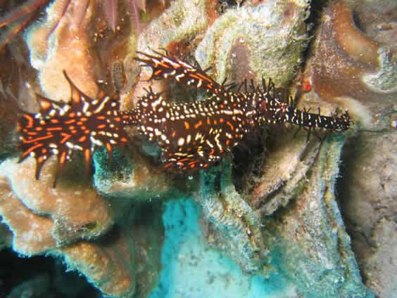 Ornate ghost pipefish Photo taken at house reef dive site