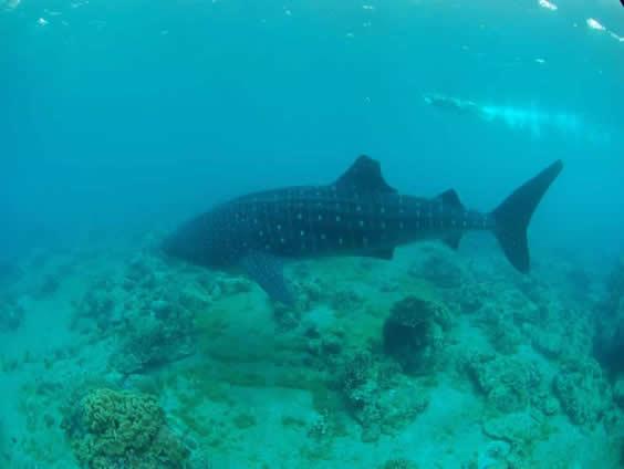 Whale shark at Sunok Photo by Nigel Marsh www.nigelmarshphotography