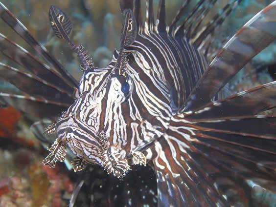 Lionfish Photo by Nigel Marsh www.nigelmarshphotography.com